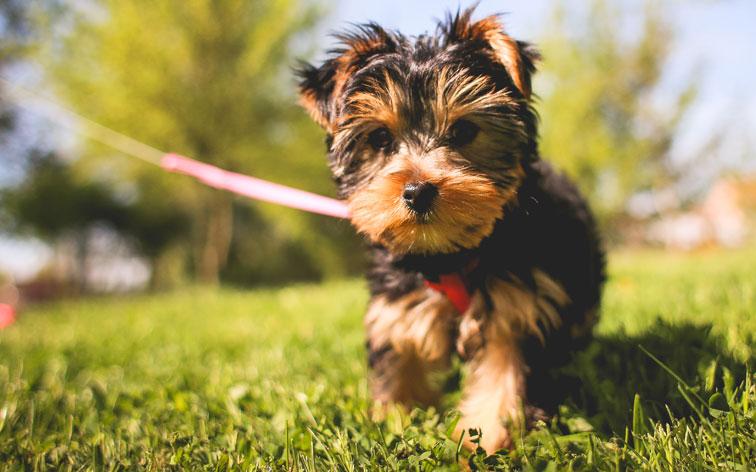 ヨークシャテリア子犬